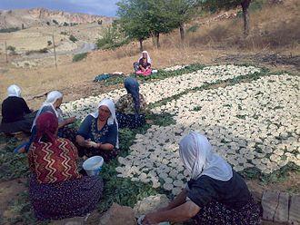 Kashk - Kurdish women preparing kashk in a village at Turkey
