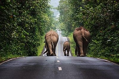 Elefantes salvajes caminando por una carretera de Tailandia.