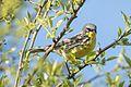 Kirtland's Warbler (Setophaga kirtlandii) (26808807666).jpg