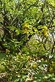 Korina 2015-04-30 Mahonia aquifolium 2.jpg
