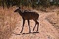 Kudu, Ruaha National Park (13) (28947362901).jpg