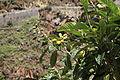 La Palma - San Andrés y Sauces - Barranco del Agua + Calle Los Tilos - Eriobotrya japonica 03 ies.jpg