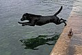 Labrador Retriever dive.jpg