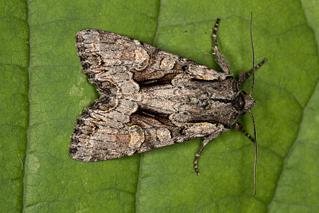 Lacanobia thalassina, Lodz(Poland)01(js).jpg