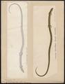 Lacerta tetradactyla - 1700-1880 - Print - Iconographia Zoologica - Special Collections University of Amsterdam - UBA01 IZ12500085.tif