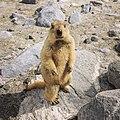 Ladakhi Marmot.jpg