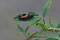 Ladybird larva (35300062374).jpg