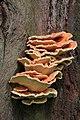 Laetiporus sulphureus, Trent Park, Enfield.JPG