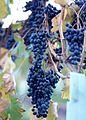 Lagrein vines at Gisborne Peak.jpg