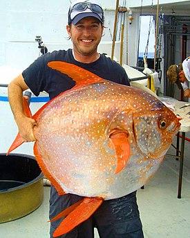 Lampris guttatus NOAA.jpg