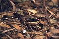 Large-tailed Nightjar (Caprimulgus macrurus) (20785458426).jpg