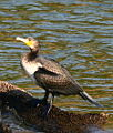 Large cormorant (Phalacrocorax carbo) 20-Mar-2007 3-07-50 PM.JPG