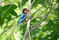 Large icebird Sri Lanka.jpg
