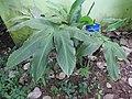 Larsenianthus careyanus-3-JNTBGRI-kerala-India.jpg