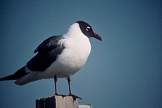 Laughing gull - Image: Larus atricilla 1