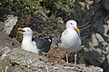 Larus occidentalis -San Luis Obispo, California, USA -pair-8.jpg