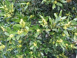 Akdeniz defnesi tohumlar (Laurus nobilis)