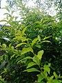 Leaves and trees palavangudi jpg 22.jpg