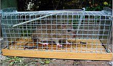 Rattenbekampfung Wikipedia