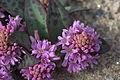 Ledebouria ovatifolia 03.jpg