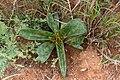 Ledebouria revoluta-2454 - Flickr - Ragnhild & Neil Crawford.jpg