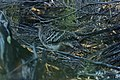Leipoa ocellata (32576402671).jpg