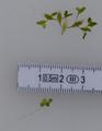 Lemna trisulca & Lemna minor.png