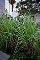 Lemongrasss2222.jpg