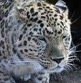 Leopard Head 2 (4505799433).jpg