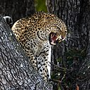 Leopard in Heat.jpg