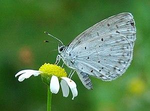 Panorpida - Celastrina argiolus