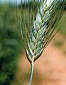 Les Plantes Cultivades. Cereals. Imatge 1832.jpg