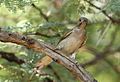 Lesser honeyguide, Indicator minor, at Pilanesberg National Park, South Africa (15994876502).jpg