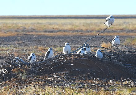 Roosting in Diamantina basin, Queensland Letterwinged Kite Sunny Roost Diamantina 2019.jpg