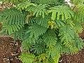 Leucaena leucocephala 20.jpg