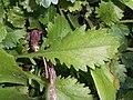 Leucanthemum vulgare 2017-09-28 5521.jpg