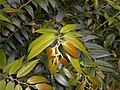Leucothoe fontanesiana 2017-06-25 3031.jpg