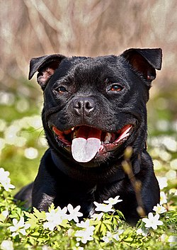 Staffordshire bullterrier – Wikipedia