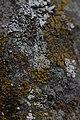 Lichen (35144330364).jpg