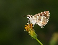 Life cycle of Indian Skipper - Spialia galba (4731499757).jpg