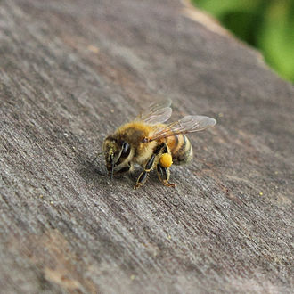 Italian bee - Italian honey bee carrying pollen from flowers