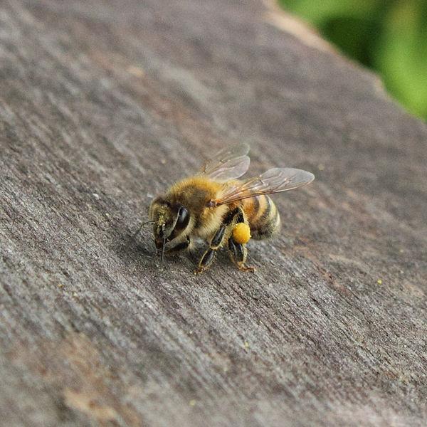 Italian Honey Bee Italian bee