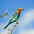 Lilac-breasted Roller on Acacia tree in Botswana series - image 1 of 3.jpg