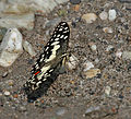 Lime Butterfly (Papilio demoleus) at Jayanti, Duars, West Bengal W Picture 184.jpg