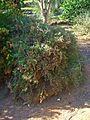 Limonium tuberculatum 001.jpg