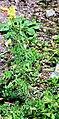 Linaria vulgaris Prague 2011 1.jpg