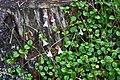 Linnaea borealis Moray.jpg