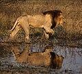 Lion, Okavango Delta of Botswana.jpg