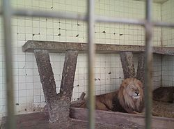 Lion in the zoo.JPG