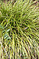Liriope spicata - Floraison.jpg